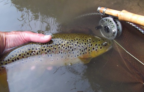 A decent trout to a BWO