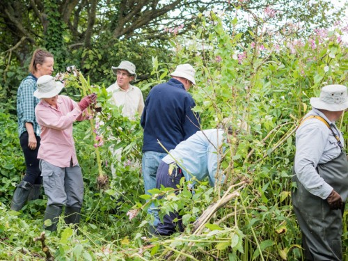 Himalayan Balsam bashing day Dorchester